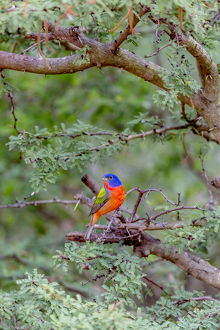 USA, Texas, Gatesville, Santa Clara Ranch. Male painted bunting in tree. Credit as