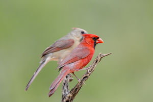USA, Texas, Gatesville, Santa Clara Ranch. Male and female northern cardinals on branch
