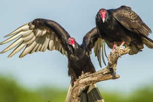 USA, Texas, Hidalgo County. Close-up of two turkey vultures on limb