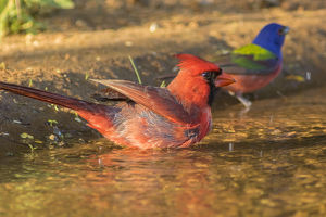 USA, Texas, Hidalgo County. Male cardinal and painted bunting