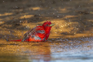 USA, Texas, Hidalgo County. Male summer tanager bathing