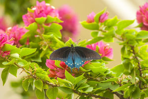 USA, Texas, Hidalgo County. Pipevine swallowtail butterfly on branch
