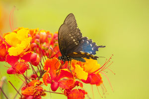 USA, Texas, Hidalgo County. Pipevine swallowtail butterfly on flower