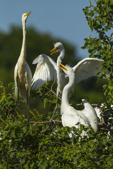USA, Texas, High Island, Smith Oaks Rookery. Great egret parent at nest with chicks