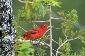 USA, Texas, Hill Country. Male summer tanager on tree limb