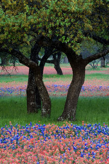 USA,Texas,Hill Country,Texas Wildflowers and Dancing Trees