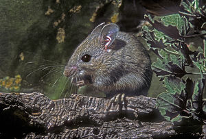 USA, Texas, Rio Grande Valley, McAllen. Close-up of wild deer mouse eating on log