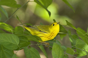 USA, Texas, South Padre Island. Male yellow warbler in shrubs