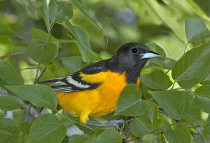 USA, Texas, South Padre Island. Portrait of Baltimore oriole in breeding plumage