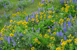USA, Washington, Columbia River Gorge National Scenic Area, Spring bloom of Northwest