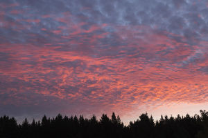 USA, Wisconsin. Sunset with alto cumulus clouds and silhouetted treeline