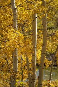 USA, Wyoming. Aspen trees with yellow leaves next to a pond