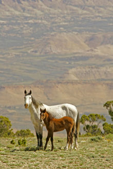 USA, Wyoming, Carbon County. Wild horse mare and colt