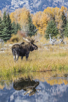 USA, Wyoming, Grand Teton National Park, a Bull Moose stands near the Snake River