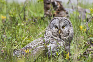 USA, Wyoming, Grand Teton National Park, Great Gray Owl sits on the ground amongst