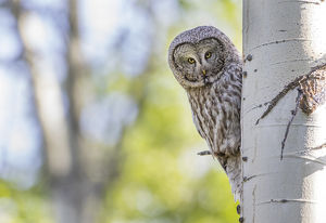 USA, Wyoming, Grand Teton National Park, an adult Great Gray Owl stares from behind
