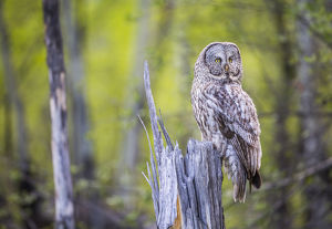 USA, Wyoming, Grand Teton National Park, an adult Great Gray Owl sits on a stump