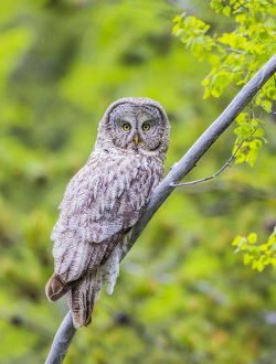 USA, Wyoming, Grand Teton National Park, an adult Great Gray Owl roosts on a branch