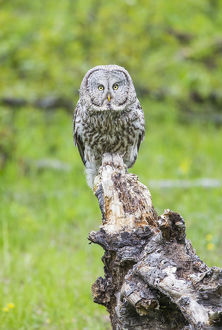 USA, Wyoming, Grand Teton National Park, an adult Great Gray Owl stares from a stump