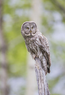 USA, Wyoming, Grand Teton National Park, a Great Gray Owl perches on a stump