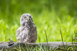 USA, Wyoming, Grand Teton National Park, Great Gray Owl Fledgling sitting on log