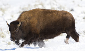 USA, Wyoming, Grand Teton National Park, Bison running in snow on Antelope Flats