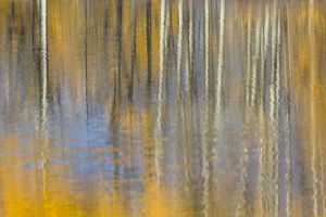 USA, Wyoming, Grand Teton National Park, Autumn aspen trees are reflected in the