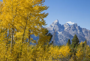 USA, Wyoming, Grand Teton National Park, autumn colored aspens frame the Grand Teton