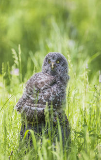 USA, Wyoming, Grand Teton National Park, Great Gray Owl Fledgling sitting on stump