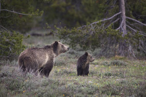 usa/usa wyoming grand teton national park sow grizzly