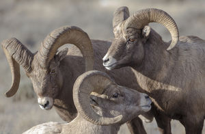 USA, Wyoming, Jackson, National Elk Refuge, a bachelor group of bighorn sheep rams