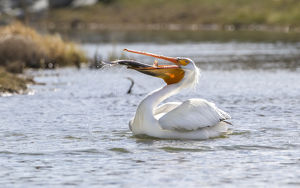 USA, Wyoming, Lincoln County, an American White Pelican catches a large trout in