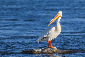 USA, Wyoming, Lincoln County, an American White Pelican roosts on a rock in the Green