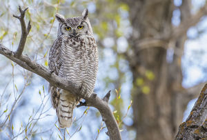 USA, Wyoming, Lincoln County, a Great Horned Owl perches on a limb of a cottonwod tree