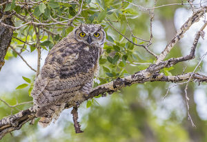 USA, Wyoming, Lincoln County, a recently fledged Great Horned Owl roosts in a cottonwood