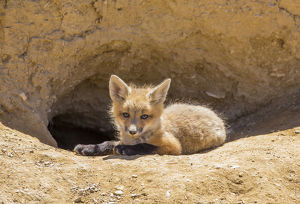 USA, Wyoming, Lincoln County, a red fox kit lays in front of it's den in the desert