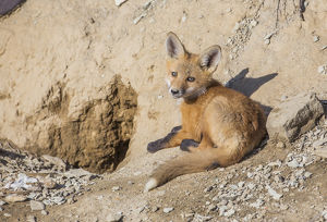 USA, Wyoming, Lincoln County, a Red Fox kit lays in front of his den