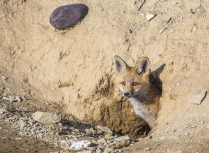 USA, Wyoming, Lincoln County, a Red Fox kit peers from it's den