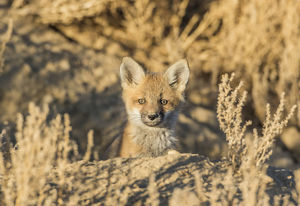 USA, Wyoming, Lincoln County, a red fox kit peers from it's den in the desert