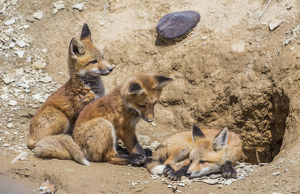 USA, Wyoming, Lincoln County, three Red Fox kits in front of their den