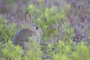 USA, Wyoming, Lincoln County, a young cottontail rabbit sits amongst grasses