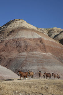 USA, Wyoming, Shell, The Hideout Ranch, Horses Walking in front of Painted Hills