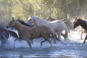 USA, Wyoming, Shell, The Hideout Ranch, Herd of Horses Cross the River (MR/PR)
