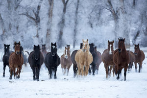 USA, Wyoming, Shell, Horses in the Cold, PR