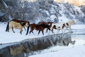 USA, Wyoming, Shell, Horses Crossing the Creek, PR