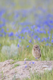 USA, Wyoming, Sublette County, an adult Burrowing Owl stands at it's burrow with