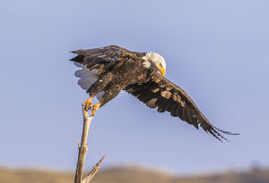 USA, Wyoming, Sublette County, A Bald Eagle takes off from it's perch on a dead