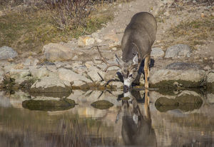 USA, Wyoming, Sublette County, Boulder Creek, A mule deer buck drinks from a creek