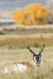USA, Wyoming, Sublette County, a buck Pronghorn Antelope lays down in grasses in autumn