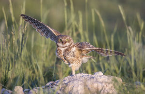 USA, Wyoming, Sublette County, a Burrowing Owl lands at it's burrow